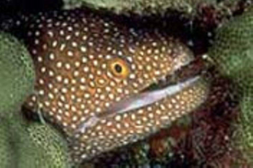 """Tierlexikon: Muränen - die """"Schrecken der Meere"""""""
