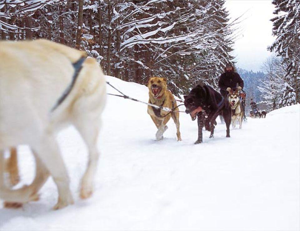 Thomas Gut betreibt in Frauenau eine Schlittenhundeschule