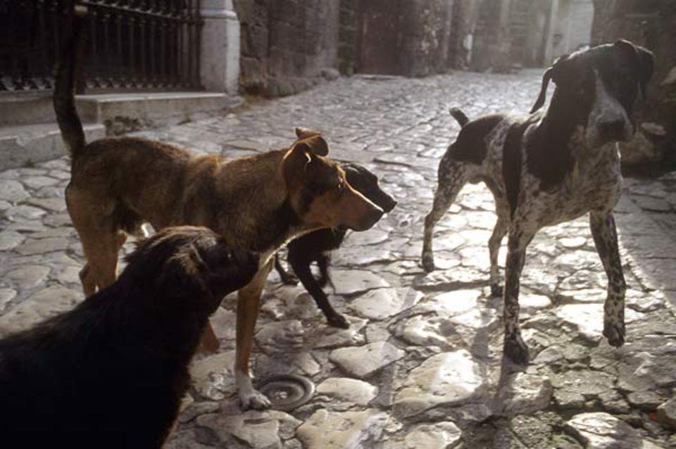 Leider müssen aber auch viele Hunde ohne menschliche Fürsorge auskommen. Diese italienischen Straßenhunde schlagen sich auf eigene Faust durchs Leben