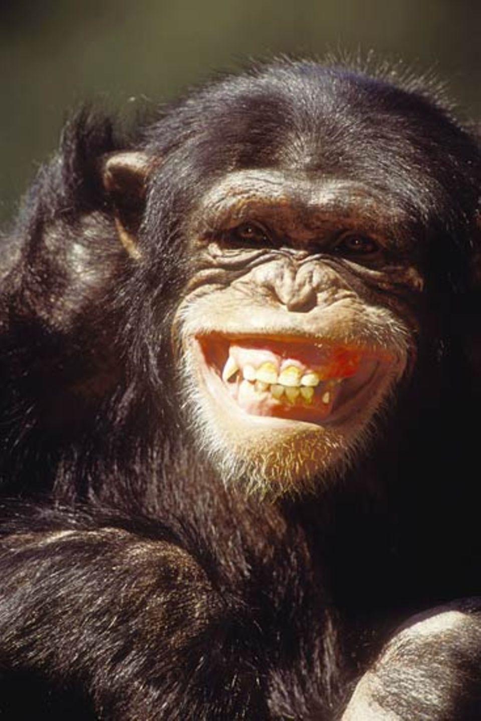 Lachen ist nicht nur ein Ausdruck von Fröhlichkeit. Menschen und Affen lachen auch, wenn sie verlegen sind oder andere beschwichtigen wollen