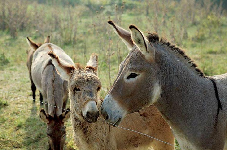 Die Esel mussten leider auf dem Landgasthof in Forcalquier bleiben