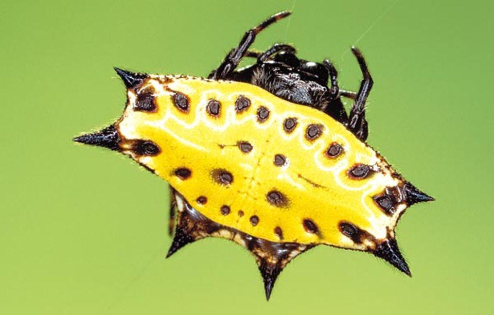 Lauern gehört zur Standardtaktik der Radnetzspinnen: die Stachelspinne Gasteracantha cancriformis