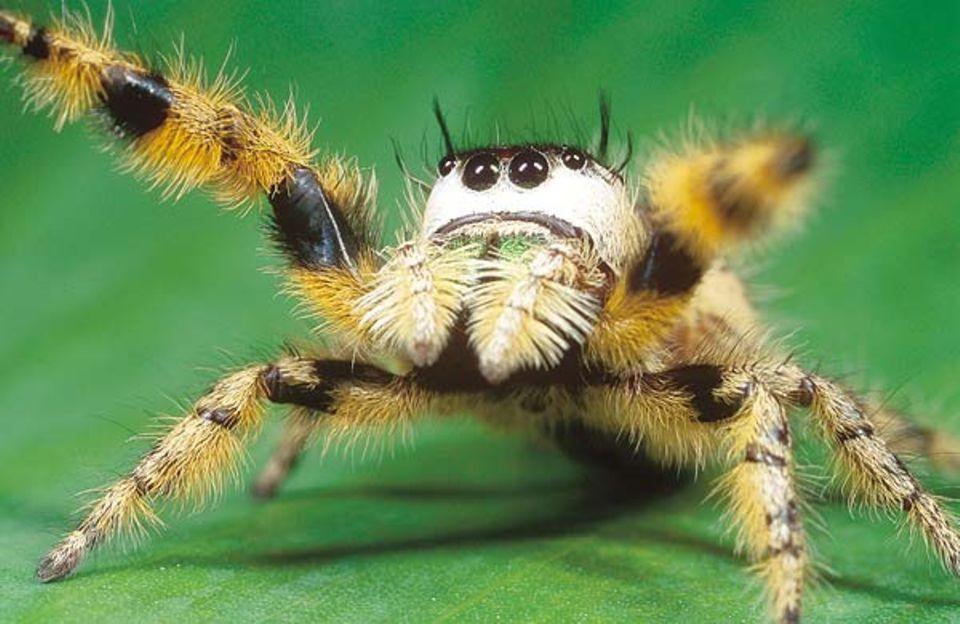 Wie bei anderen Springspinnen auch sind bei Phidippus otiosus die acht großen Augen das hervorstechende Merkmal