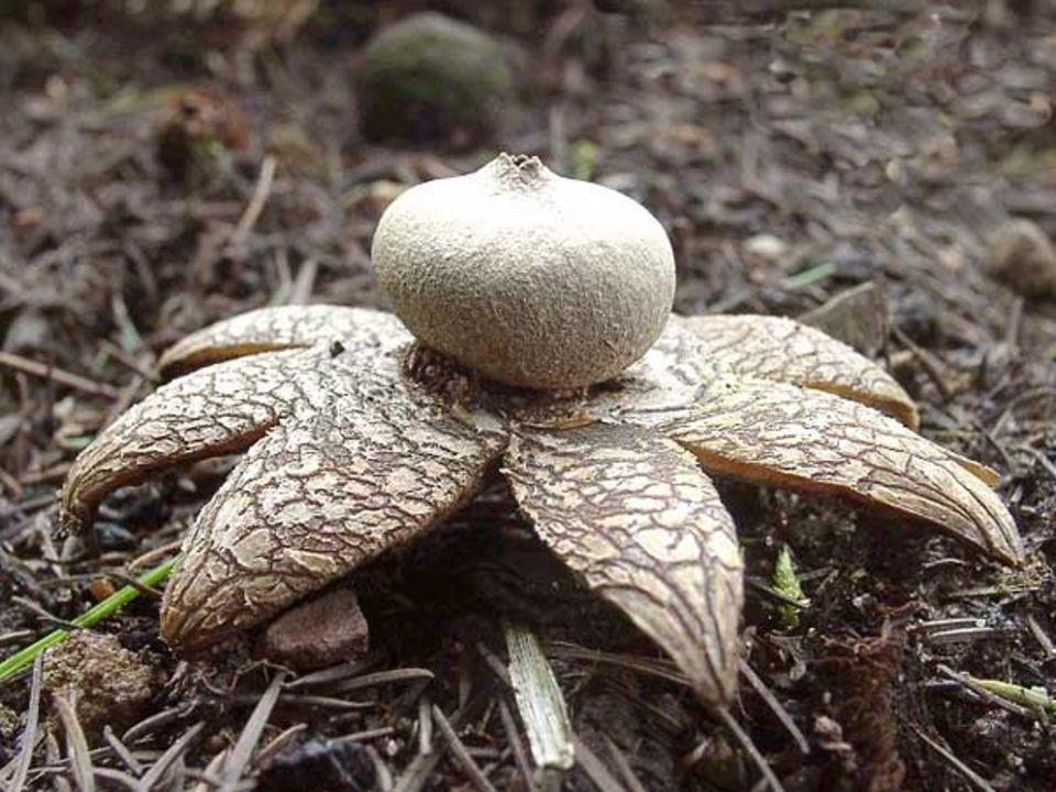 Der Wetterstern, Astraeus hygrometricus, ist Pilz des Jahres 2005