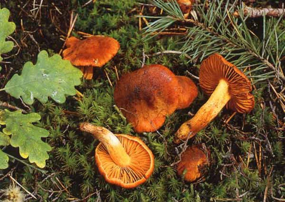 Der Orangefuchsige Rauhkopf, Cortinarius orellanus, ist Pilz des Jahres 2002