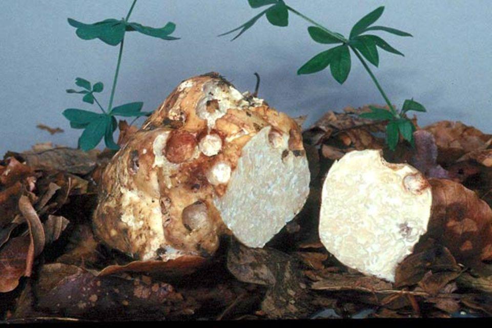 Mäandertrüffel, Choiromyces maeandriformis Vittadini, ist Pilz des Jahres 2001