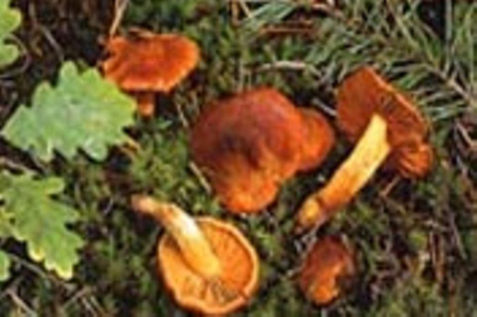 Pilze: Wetterstern und Hausschwamm - Was sind das für Pilze?