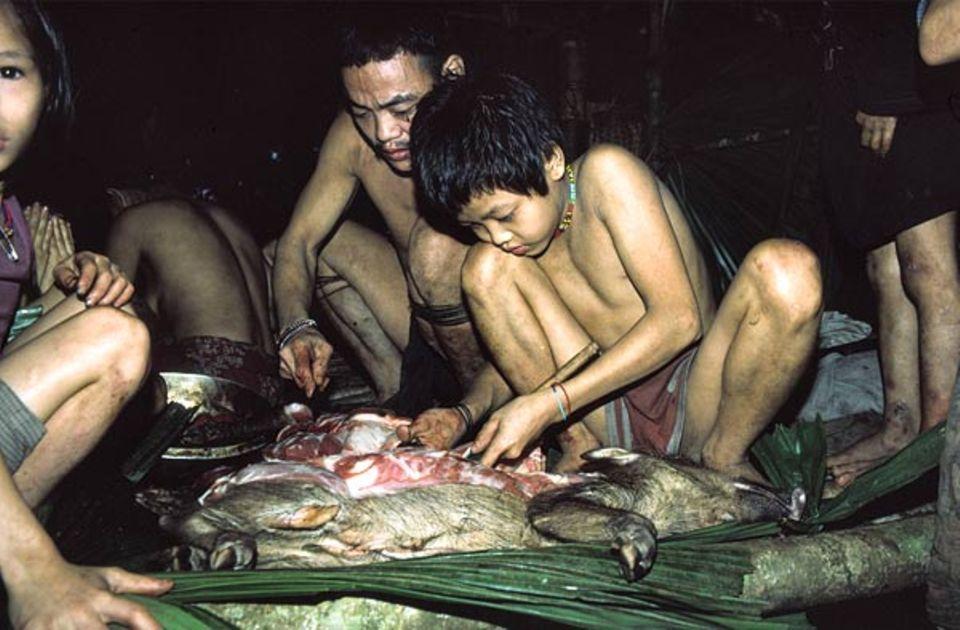 Sarawak, Borneo: Ein zehnjähriger Junge vom Volk der Penan zerteilt mit dem Messer ein Wildschwein - unter Anleitung seines Vaters, der die Beute mit seinem Blasrohr erlegt hat. Die Waldnomaden leben in schnell und einfach errichteten Baumhäusern