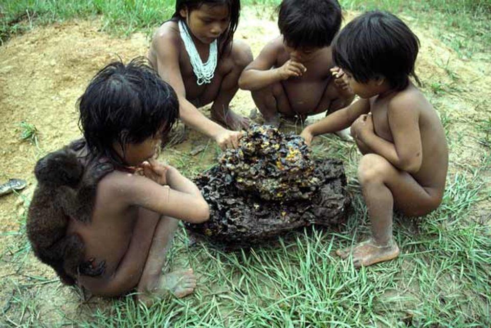 Rio Cononaco, Ecuador: Fünfjährige Kinder vom Indianervolk der Huaorani haben ein Wildbienen-Nest von einem Baum heruntergeholt und klauben mit den Fingern den süßen Honig heraus - ein Leckerbissen. Der junge Brüllaffe auf dem Rücken des Jungen ist dessen ständiger Begleiter