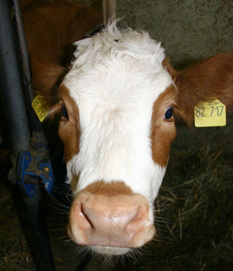Beruf: Drei Mal am Tag gibt es für Flecki, Liliput und Co einen Liter Milch aus einem Eimer mit Riesennuckel