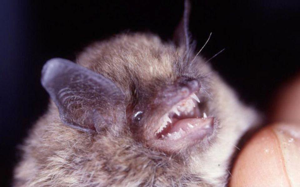 Mit seinen scharfen Zähnen kann der wehrhafte Winzling nur Insekten gefährlich werden