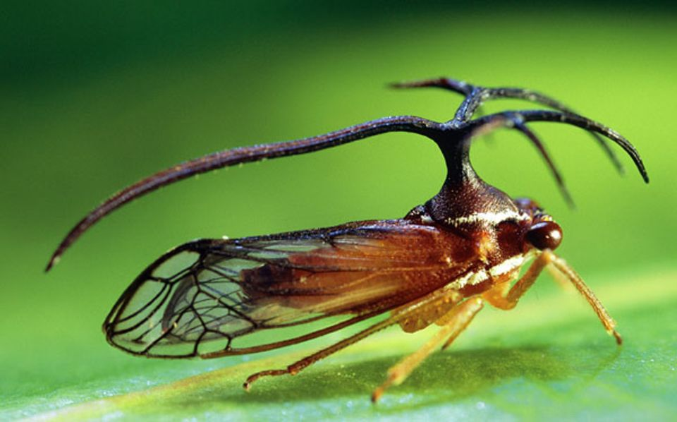 Umbelligerus, gerade mal einen Zentimeter groß, ist eine von weltweit 400 Buckelzirpen-Gattungen. Besonders die tropischen Arten dieser Zikadengruppe übertreffen sich mit ihren bizarren Rückenschlidern