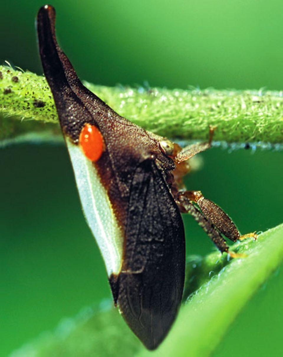 Im Gegensatz zu anderen Zikaden besitzt die männliche Spezies der Gattung Enchenopa kein musikalisches Talent und trommelt deshalb im Paarungsfieber mit dem Bauch auf die Zweige