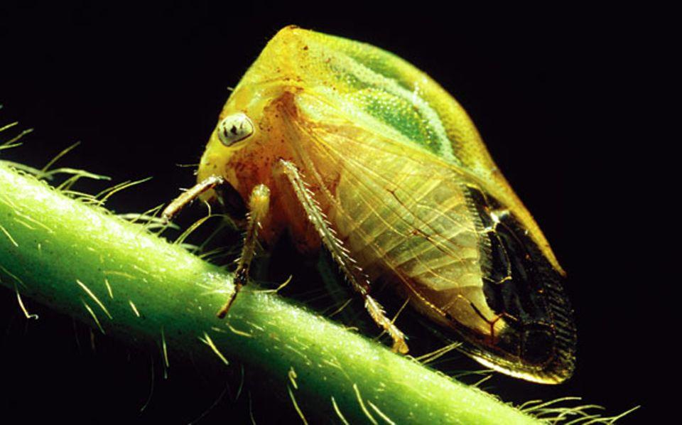 Wenn sich bei Buckelzirpen-Gattungen Größe und Farbe, Design des Rückenschilds und der Flügelfelder sowie Beine und Antennen ähneln, hilft zur Identifikation nur ein indiskreter Blick - auf die Form des Genitals. Diese gelb-grüne Spezies ließ das nicht zu und bleibt daher anonym