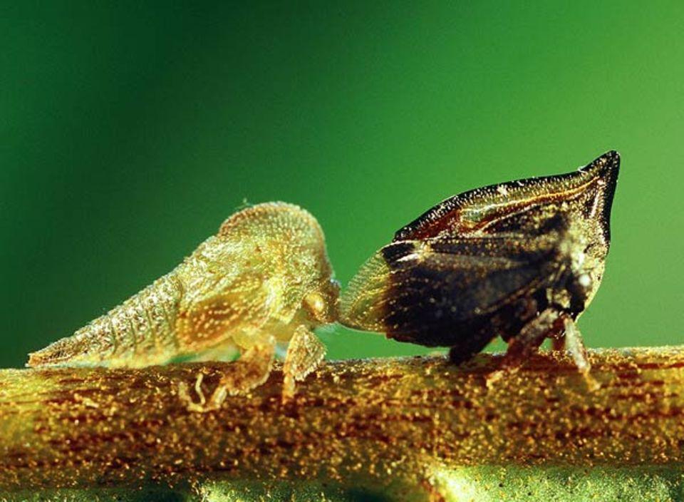 Tritropidia und Anverwandte wissen sich zu wehren: Droht ihnen oder den hellen Larven Gefahr, ...