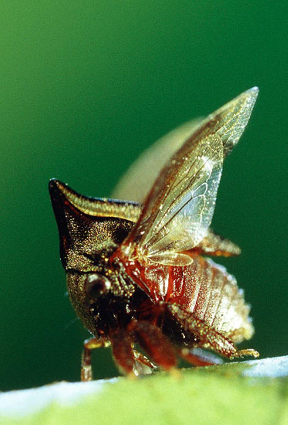 ... schlagen sie mit den Flügeln, recken das Stirnschild nach oben und kicken mit ihren muskulösen Vorderbeinen nach dem Angreifer