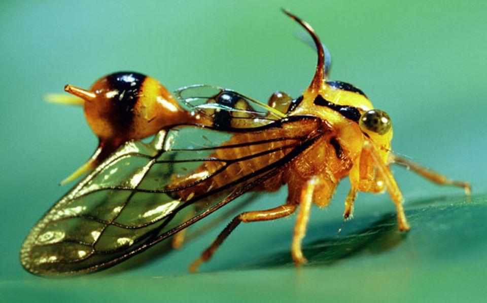 In perfekter Mimikry ahmt die Gattung Heteronotus Wespen nach. Auf den Verzehr dieser Zirpen verzichten selbst hungrige Vögel. Beißt doch mal einer zu, verderben ihm spätestens die spitzen Stacheln den Appetit
