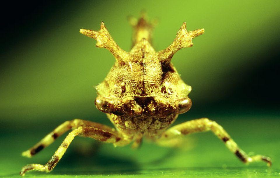 Über die Lebensweise der behaarten Zirpengattung Smerdalea ist nichts weiter bekannt, obwohl sie schon 1896 erstmals systematisch beschrieben wurde