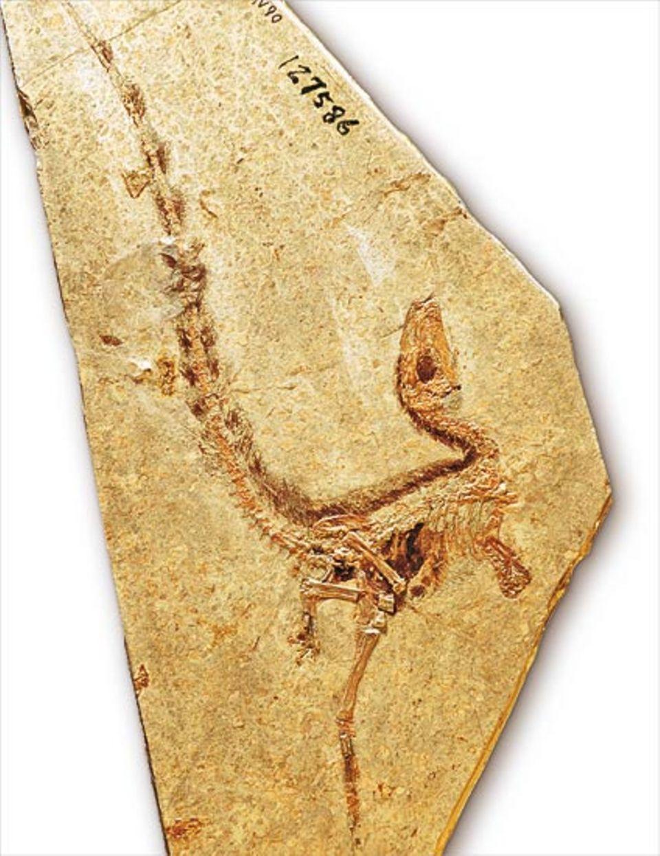 """""""Erste chinesiche Drachenfeder"""" wurde der hühnergroße, einst auf zwei Beinen rennende Raubsaurier getauft"""