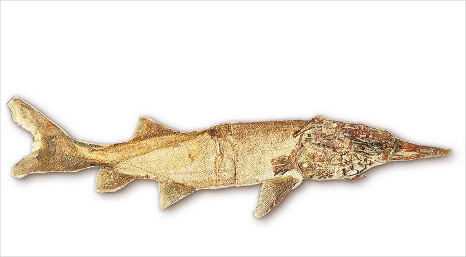In den gleichen Sedimenten wie die der Saurier finden sich häufig Fische wie der zu den Stören gehörende Protopsephurus