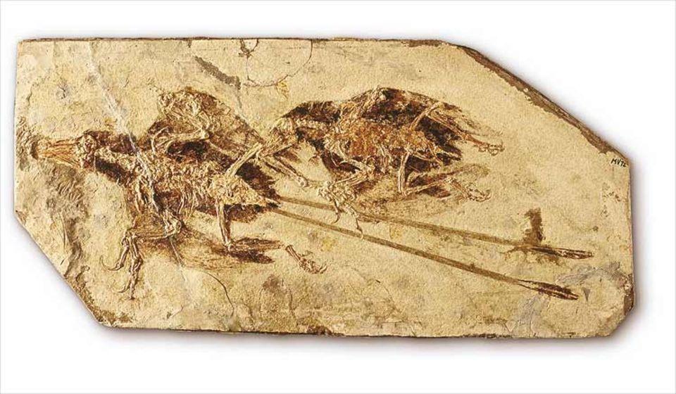 Ein Urvogelpaar mit jenem Federkleid, das schon zu vollem Flug befähigte. Die langen Schwanzfedern gehörten vermutlich zu einem Männchen