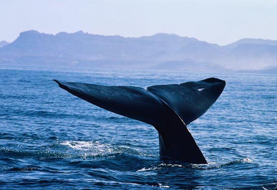 Tierwelt: Majestätisch hebt sich die Fluke eines Blauwals beim Abtauchen aus dem Wasser