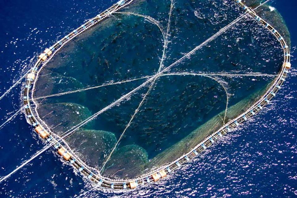 Der vor der libyschen Küste gefangene Thunfischschwarm kreist während des Transports ständig im Netz