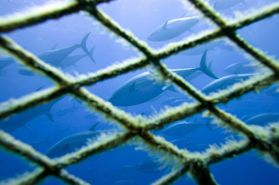 Ein Schwarm Blauflossen-Thunfische, eingefangen im Transportnetz, wird zu einer sizilianischen Thunfisch-Farm geschleppt