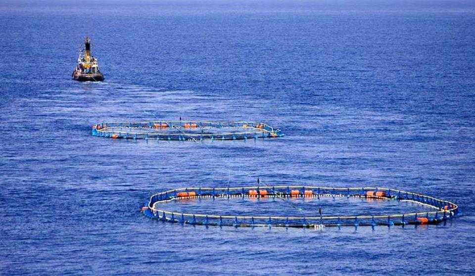 Ein Schlepper zieht die Transportnetze zur Thunfischfarm. Dort werden die jungen Fische bis zur Marktreife gemästet