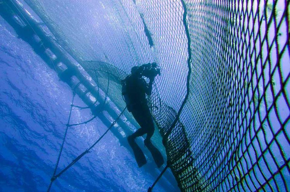 Ein Taucher von Greenpeace dokumentiert mit der Videokamera den Abtansport von Blauflossen-Thunfischen im Netzkäfig