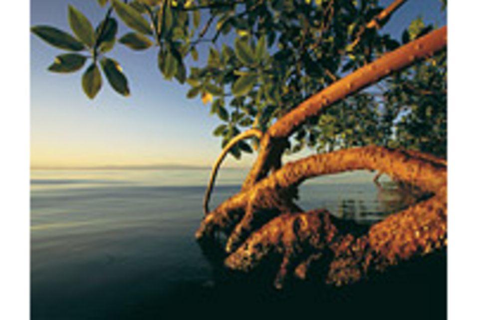 Mangroven: Lebenskünstler zwischen Land und Meer