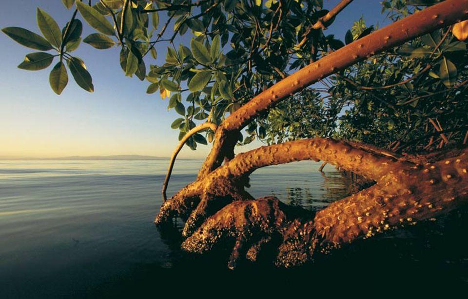 Eine Rote Mangrove, in der Karibik die am weitesten verbreitete Art