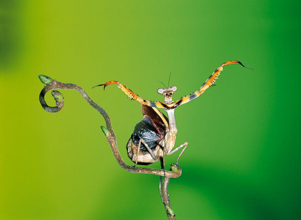 Tierlexikon: Wenn die Gottesanbeterin in Bedrängnis kommt, spreizt sie die Flügel. So wirkt sie größer und schreckt ihre Feinde ab