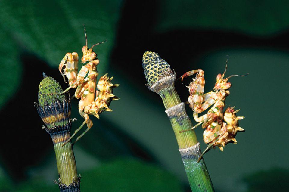 Tiere: Hocken auf Halmen: Fangschrecken können stundenlang völlig reglos verharren und auf Beute lauern. Auffällig ist ihr dreieckiger Kopf: An zwei Ecken sitzen die großen Augen, an der dritten der Mund