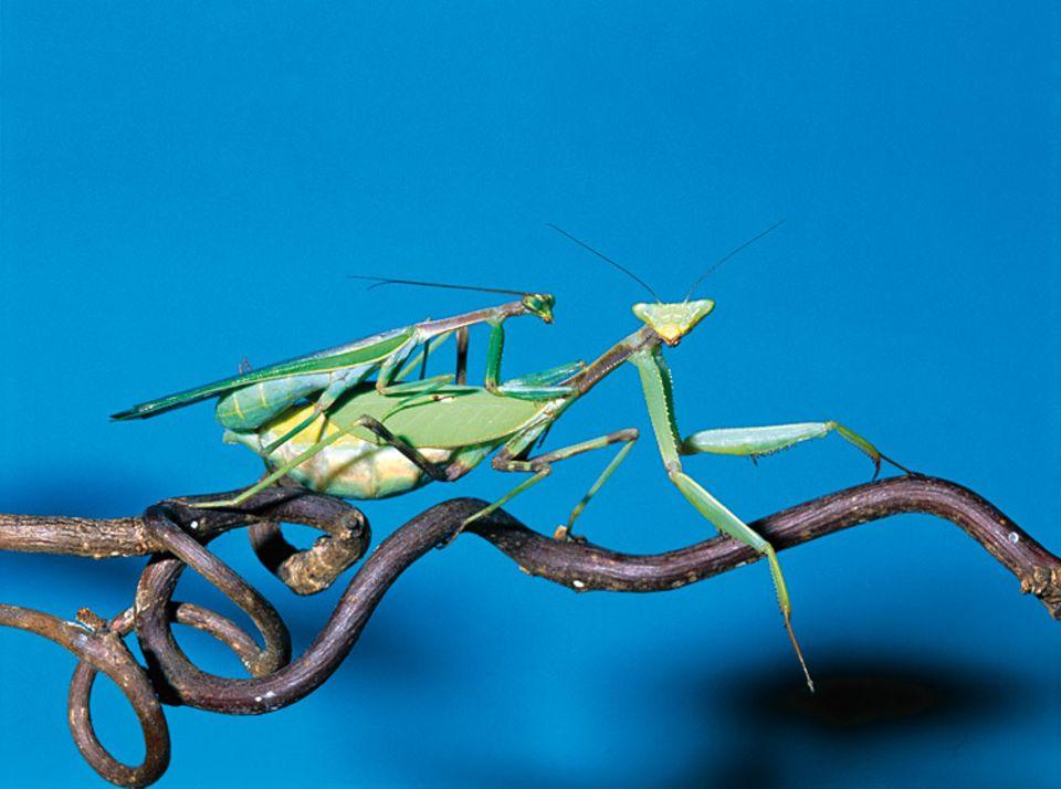 Tiere: Die Männchen sind meist deutlich kleiner als die Weibchen. Vor und nach der Paarung müssen die Verehrer gut aufpassen, dass sie nicht von den Damen aufgefressen werden
