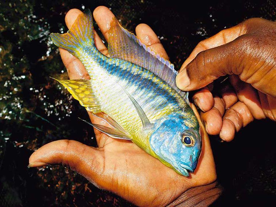 """Der Malawisee bietet prächtige Landschaftsbilder und großen Fischreichtum. Die Alten sagen, dass sie nur an seinen Ufern glücklich und gesund leben können - sobald sie weggehen, befällt sie ein rätselhaftes """"Fieber"""""""