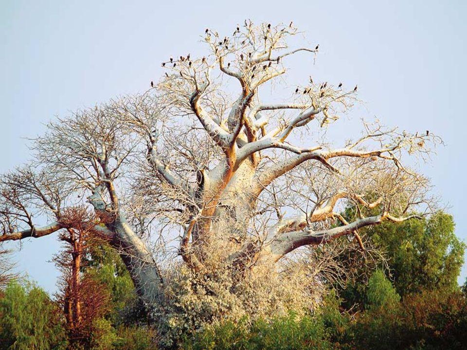 Auf einem mächtigen Baobab hat sich eine Kolonie Kormorane niedergelassen. In Trockenperioden trägt der Baum kein Laub, erst zur Regenzeit treibt er aus. Eine afrikanische Legende besagt, der Teufel habe ihn verkehrtherum wachsen lassen - weil das Geäst wie Wurzelgeflecht aussieht