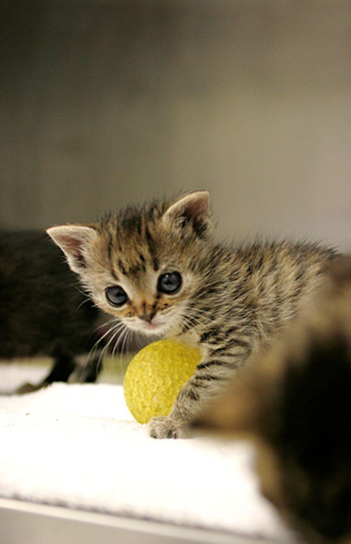 Katzenkinder wollen vor allem eines – spielen!