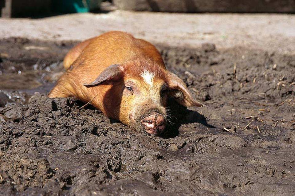 Glücksschwein: Der Schweinestall von Ferkel Selma ist mit Stroh gepolstert. Im Garten davor hat es einen Schlammpool und viel Platz zum Spielen