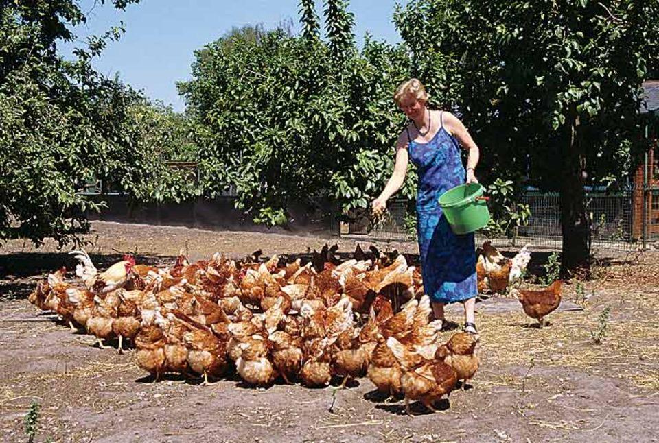 Die Hennen drängen sich um Bäuerin Agnes Timmermann. Sie wissen: Gleich gibt es frisches Futter. Zum Eierlegen staksen die Tiere in den Stall zurück- dafür brauchen sie ihre Ruhe