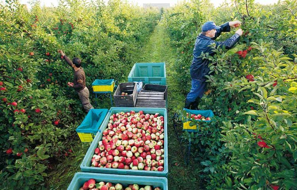 Im Akkord füllen die Pflücker die Plastikboxen mit Elstar-Äpfeln. Lange Leitern brauchen sie dafür nicht: Die Bäumchen werden nur zweieinhalb Meter hoch. Trotzdem tragen sie viele Früchte - zur Freude von Obstbauer Alexander Maxin