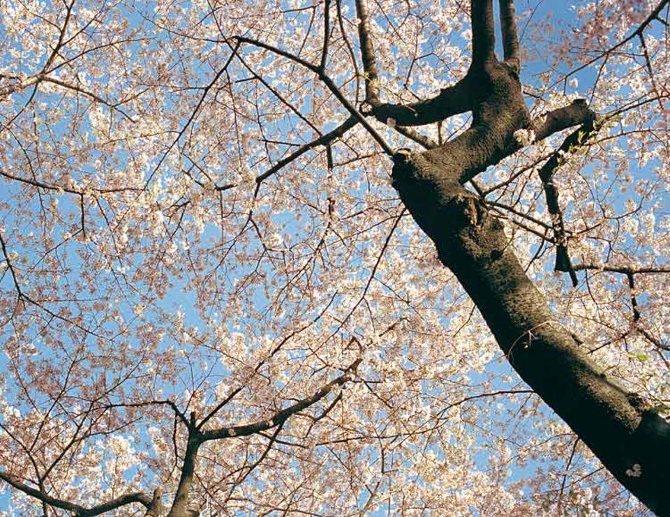 Man muss kein Visionär sein, um in Japan blühende Landschaften zu sehen: Allein in Tokio stehen rund 140 000 Kirschbäume, von denen jeder im Frühjahr etwa 350 000 Blüten trägt