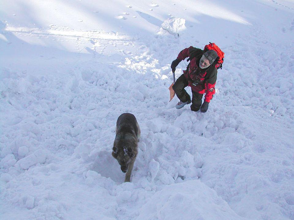 Lawinenhunde: Amor beim Training. Ob er schon eine Witterung aufgenommen hat?