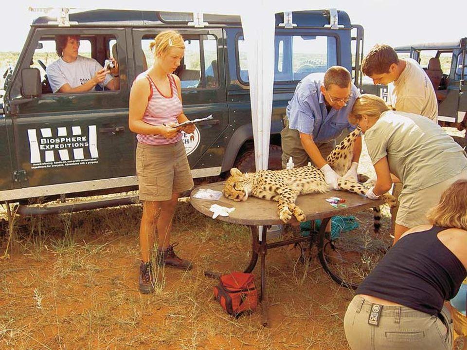 """So nah kommt man den Wildkatzen auf einer rundreise nie: Helfer der Organisation """"Biosphere Expeditions"""" bei der Untersuchung eines betäubten Geparden in Namibia"""