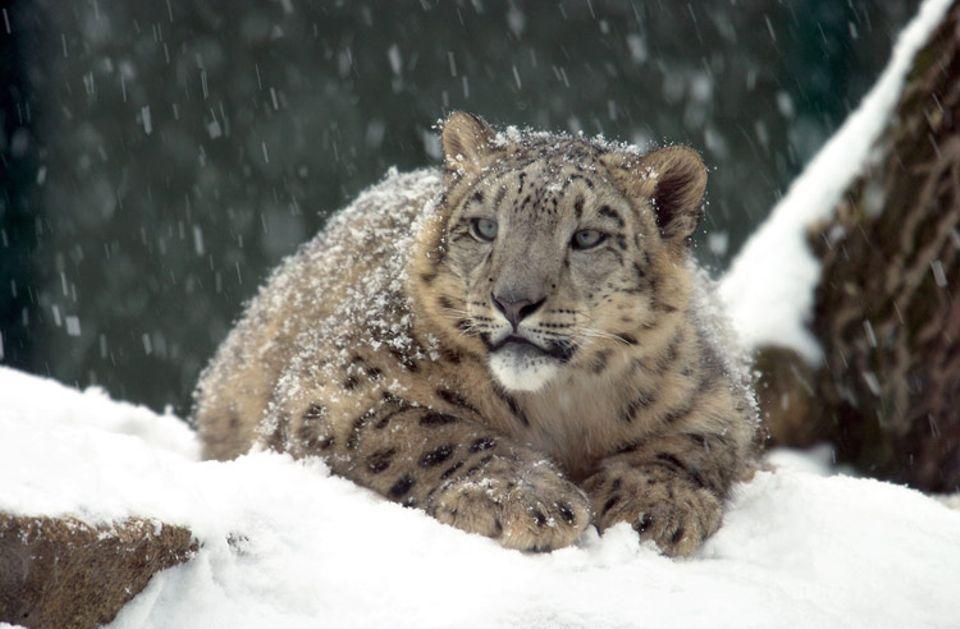 Schneeleoparden lauern ihren Beutetieren aus dem Hinterhalt auf. Eine lange Jagd wäre in den steilen Hängen zu gefährlich und würde zu viel Kraft kosten