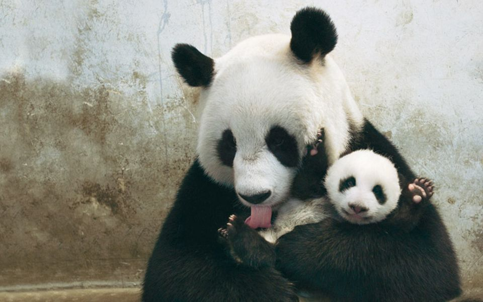 Nachwuchs in Wolong, der größten Pandazuchtanstalt der Welt: Sieben Wochen alt ist das künstlich gezeugte Junge