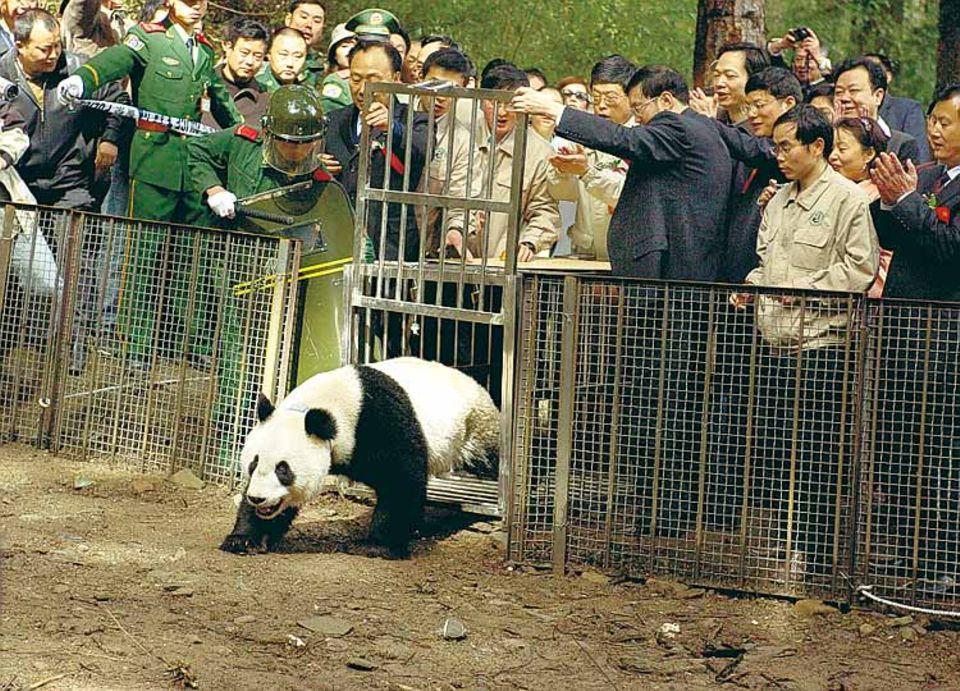 Nach zweijährigem Training wurde am 28. April 2006 der erste in Gefangenschaft gezüchtete Panda von Forschern ausgewildert. Weitere sollen dem jungen Xiang Xiang in die Berglandscahft folgen