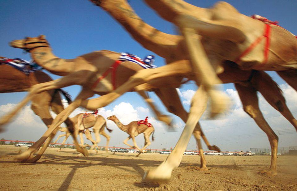 Al hejin, die edlen Rennkamele, sprinten los. Ihre Besitzer folgen ihnen in schweren Geländewagen um das kilometerlange Rund