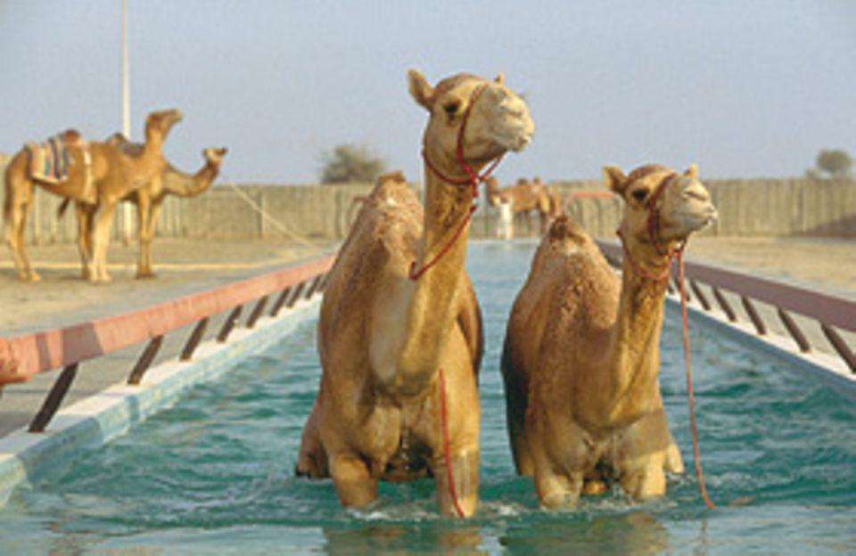 Ein Bad macht die Wüstenschiffe auf der Rennbahn schneller