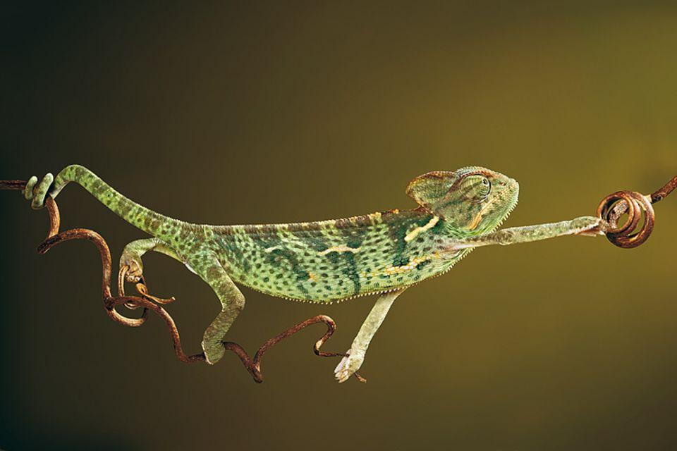 Gesichert von seinem aufgerollten Schwanz, hangelt ein Jemenchamäleon an einem Rebtrieb entlang. Dieses Motiv von Igor Siwanowicz aus München hat die GEO-Bildredaktion im Monat März zum Sieger des Online-Fotowettbewerbs auf GEO.de gekürt - weil der Fotograf die Dynamik des Kletterns besonders schön in Szene gesetzt hat